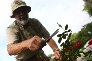 Will Locke prunes a rose bush